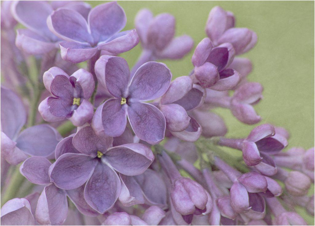 Lilac Macro