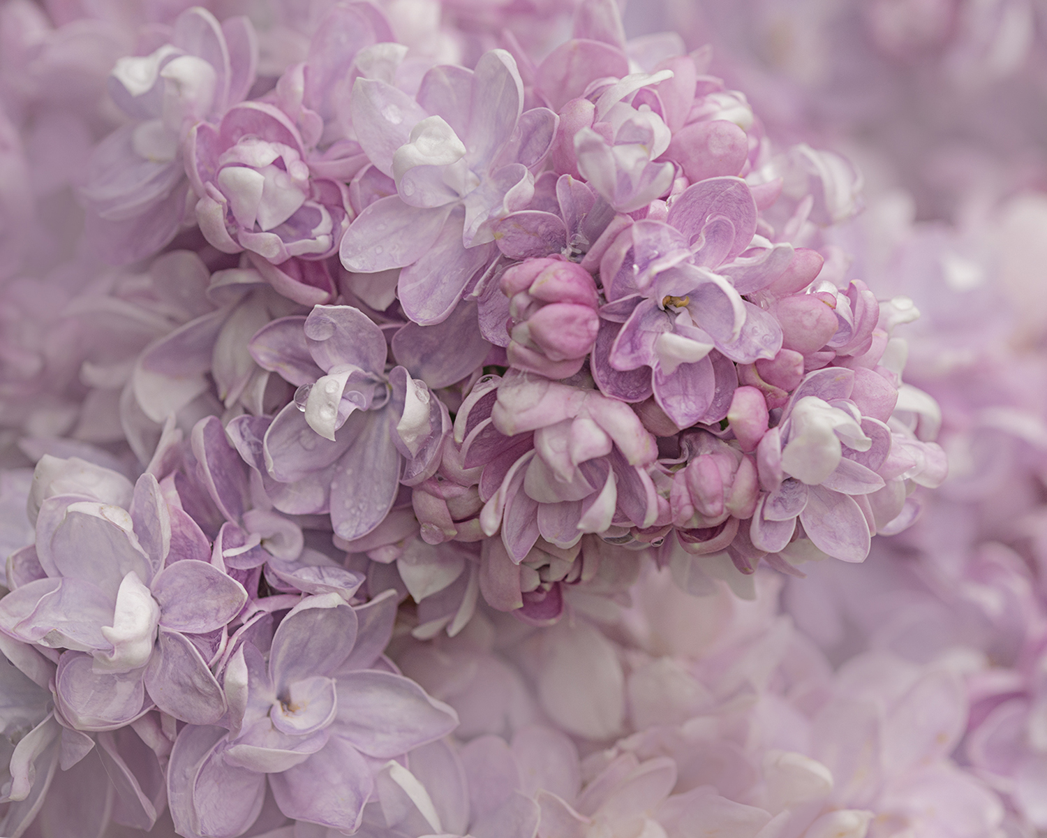 Macro close-up of a unique double lilac variety.